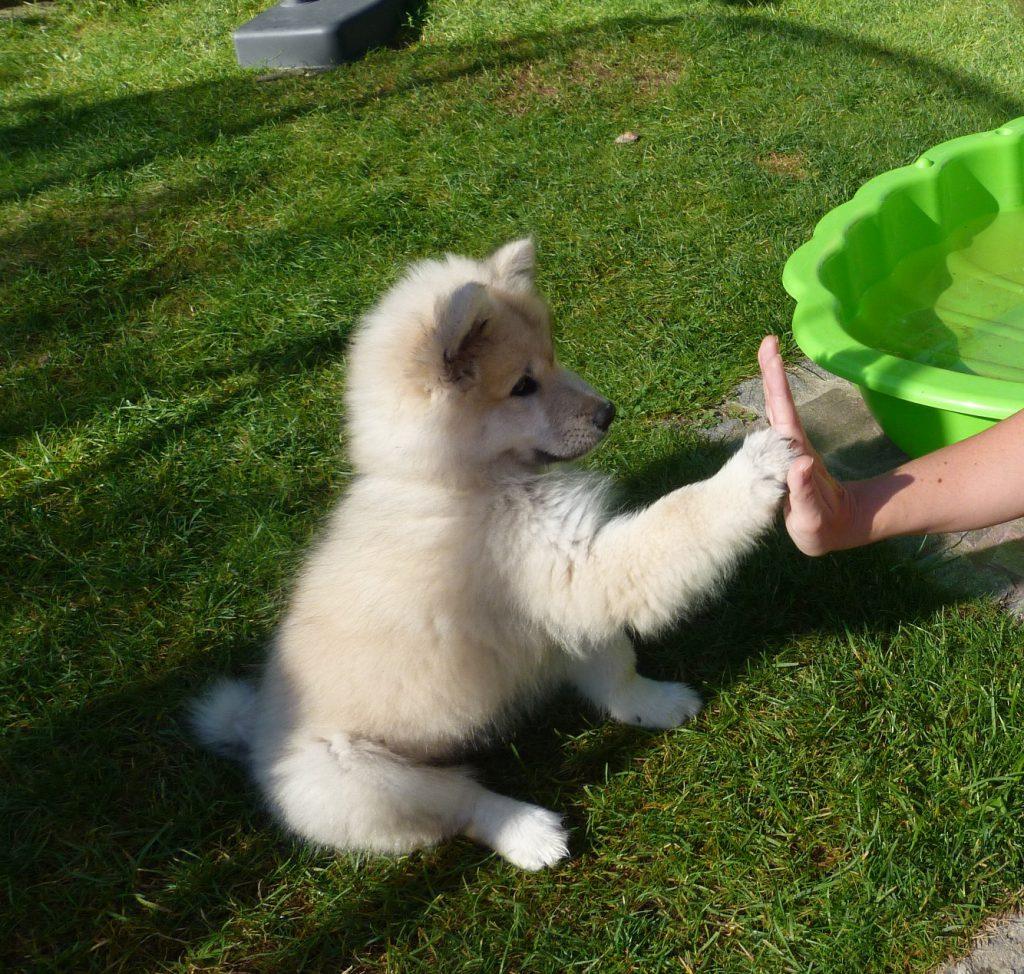 Bash Hund Eurasier Klickertraining